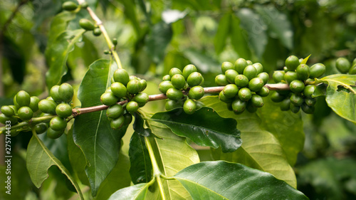 Coffee Plants And Green Coffee Beans From The Famous Kona Coffee