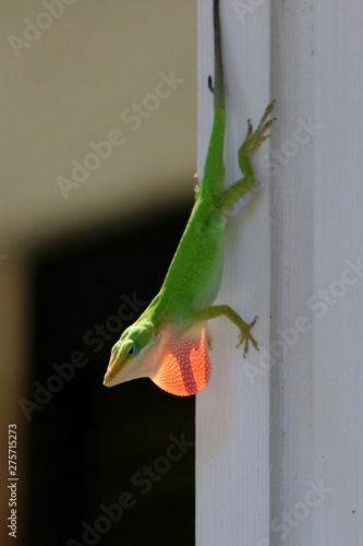 Green anole lizard showing his red dewlap Canvas Print
