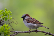 The Male House Sparrow Sits On A Maple Spring Branch.