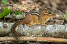 Chipmunk On A Log In The Woods
