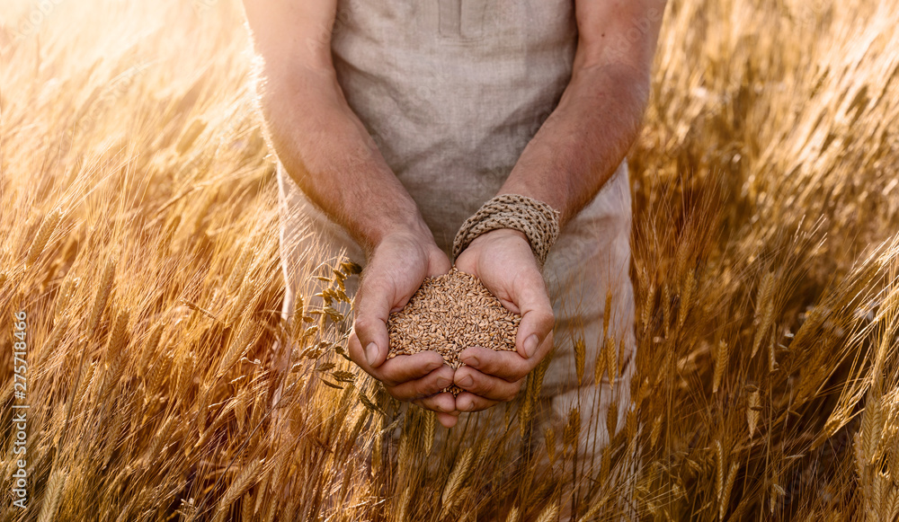 Fototapety, obrazy: Close up of farmer's hands holding organic einkorn wheat seed on the field at the sunset