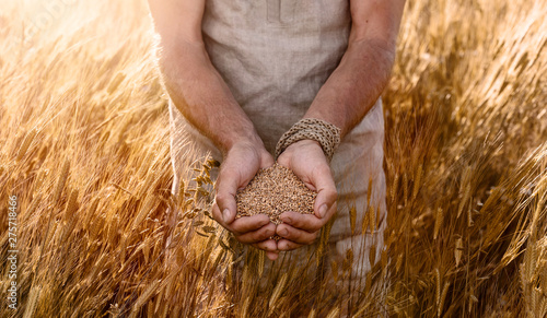 Fotobehang Cultuur Close up of farmer's hands holding organic einkorn wheat seed on the field at the sunset
