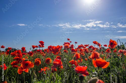 Fototapeta field of poppies in a rural landscape obraz na płótnie
