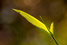 Light Play Across The Surface Of A Bamboo Leaf That Sits In Front Of A Blue Sky Background