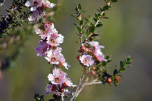 Pink And White Flowers And Buds Of The Peach Blossom Tea Tree Leptospermum Squarrosum, Family Myrtaceae, Growing In Heath On The Coast Track, Royal National Park, Sydney, New South Wales, Australia