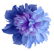 canvas print picture Watercolor flower blue peony.  on a white isolated background with clipping path. Nature. Closeup no shadows. Garden flower.