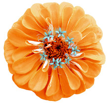 Watercolor  Orange  Flower Zinnia.  On A White Isolated Background With Clipping Path. Nature. Closeup No Shadows. Garden Flower.