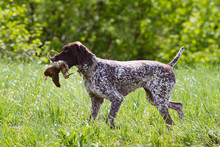 German Shorthaired Pointer Car...