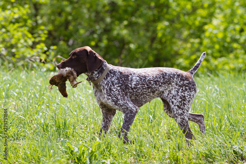 Fotografia, Obraz german shorthaired pointer carries a woodcock