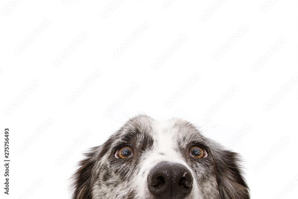 Fototapety, obrazy: Close-up  blue merle border collie dog eyes. Isolated on white background.