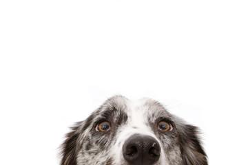 FototapetaClose-up blue merle border collie dog eyes. Isolated on white background.