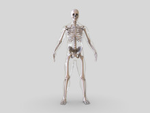 Human Skeleton Isolated - 3d Render