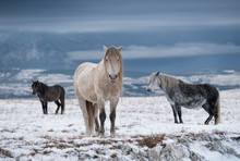 Three Wild Horses In A Winter Landscape In Bosnia