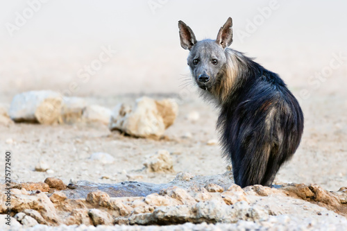 Obraz na plátně Brown hyena portrait focused straight into the camera just after drinking water in the kgalagadi