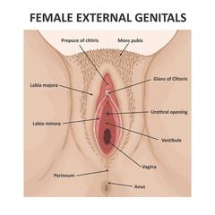 Female external genitals. Medical poster female anatomy vagina