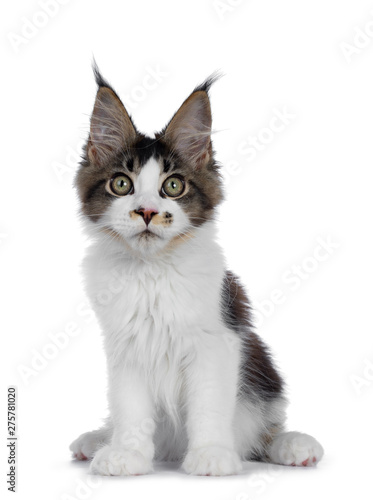 Obraz Cute black tabby with white Maine Coon cat kitten with adorable freckle on nose, sitting facing front. Looking at lens with greenish eyes. Isolated on white background. - fototapety do salonu