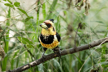 Crested Barbet Sits On A Branch In The African Bush