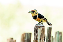 Crested Barbet Bird Sitting On A Pole In Africa