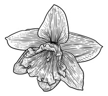 A Daffodil Spring Flower Illustration In A Woodcut Etching Retro Style