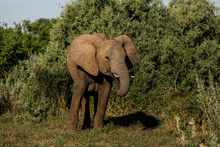 African Elephant Feeding In Front Of Green Bushes