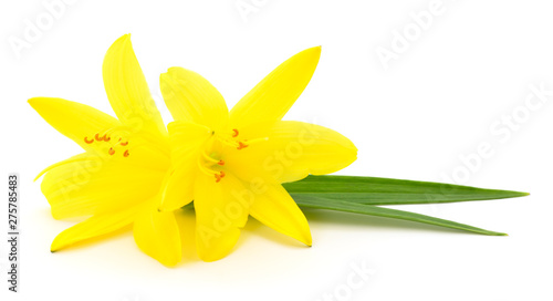 Two yellow lilies. - 275785483