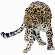 Far Eastern Leopard On White Background