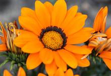 Gazania Rigens Flower, Sometim...