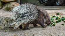 Indian Crested Porcupine, Hyst...