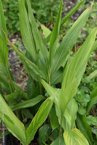 Photo Galgant, Alpinia, officinarum