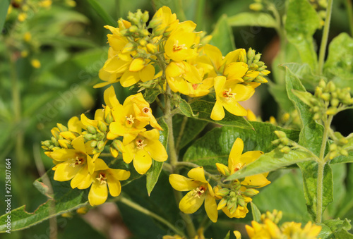 Lysimachia vulgaris flower, the garden loosestrife, yellow