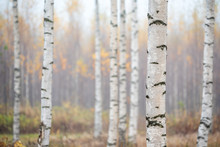 Birch Forest In Fog. Autumn Vi...