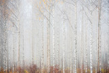 Birch forest in fog. Autumn landscape in Finland.