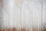 Birch forest in fog. Autumn landscape in Finland. - 275811826