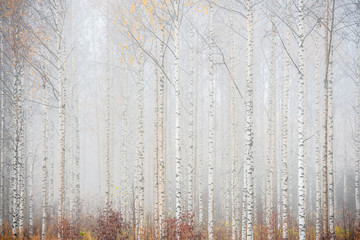 FototapetaBirch forest in fog. Autumn landscape in Finland.