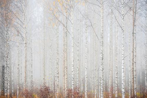 brzozowy-las-we-mgle-jesienny-krajobraz
