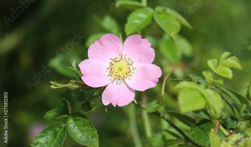 Fotografie, Obraz Sweet Brier (Rosa rubiginosa) flower blooming, also known as sweetbriar rose, sw