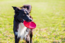 Trained Purebred Border Collie Dog Playing With His Favourite Toy Outdoors In The Park. Adorable Puppy, Holding A Red Frisbee Flying Disc In His Mouth Enjoying A Sunny Day.