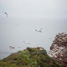 Vogel Basstölpel Bird Northern Gannet Weiss Morus Bassanus White Federn Nest Anflug Flug Fliegen Segeln Gleiten Helgoland Nistplatz Klippen