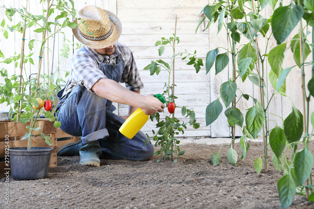 Fototapety, obrazy: man in vegetable garden sprays pesticide on leaf of tomato plants, care of plants for growth concept