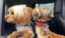 Two Yorkshire Terriers, Yorkie...