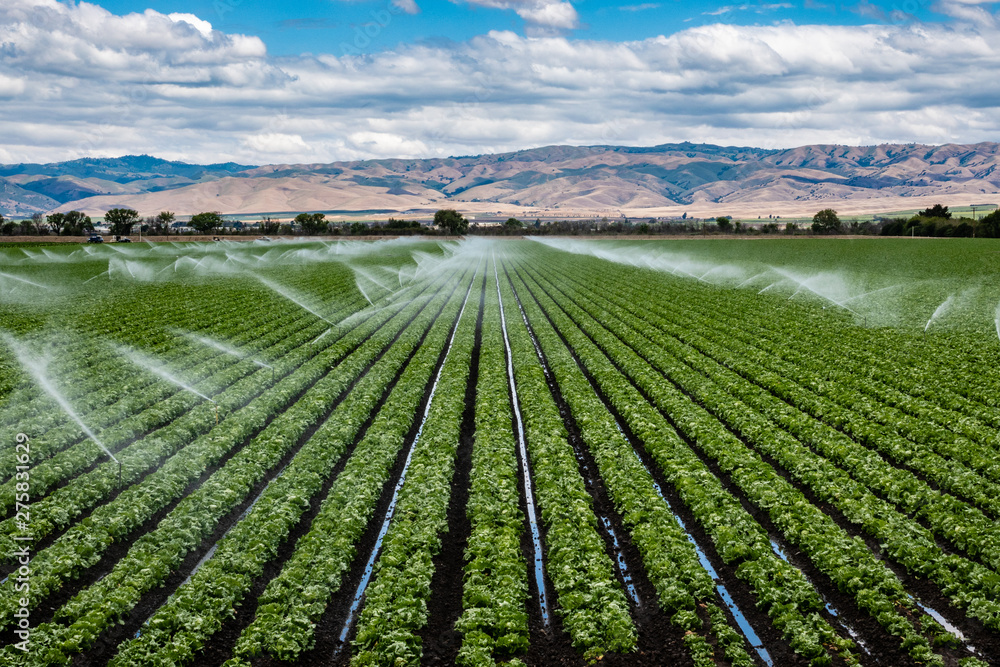 Fototapeta A field irrigation sprinkler system waters rows of lettuce crops on farmland in the Salinas Valley of central California, in Monterey County, on a partly cloudy day in spring.