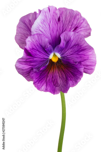 Fotobehang Pansies viola flower isolated