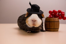 Funny Guinea Pig On Black Hat With Grapes