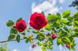 Piękny ogrodowy krzew czerwony róży