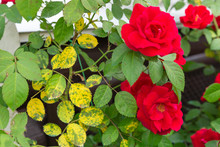 Yellowed, Diseased Leaves On Red Roses.Black Spot Fungus.Concept Of Getting Rid Of Black Leaf Spot,treating Disease Of Roses And Plants.