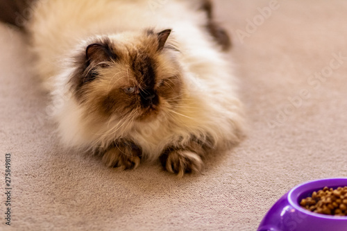 A Long Haired Blue Eyed Seal Point Himalayan Cat Laying On