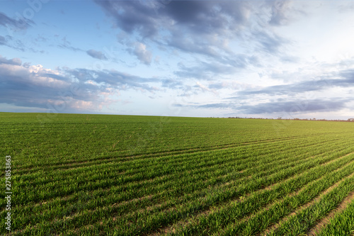 Foto op Plexiglas Weide, Moeras green young wheat field / bright Sunny day agriculture
