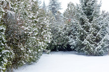 Evergreen Thuja, Spruce And Wh...