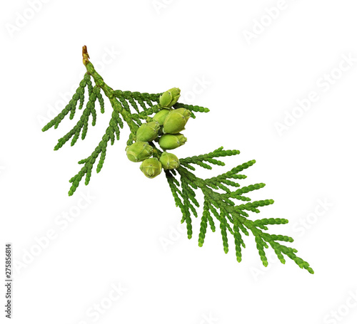 Fotografiet  Thuja twig with buds