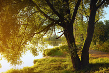 Willow Tree By Coast Of Pond At Sunset Of Sunny Summer Day
